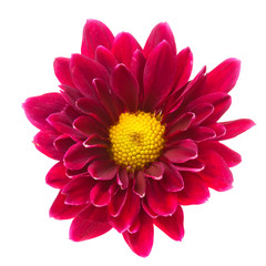 Purple chrysanthemum isolated