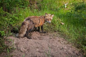 Red Fox (Vulpes vulpes) Vixen Guards Den Entrance and Kits