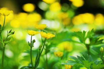 Beautiful spring yellow flowers, outdoors