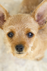 Close top view of a brown and small domestic puppy.