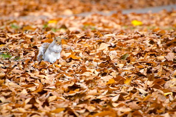 Squirrel walking on leaves in autumn