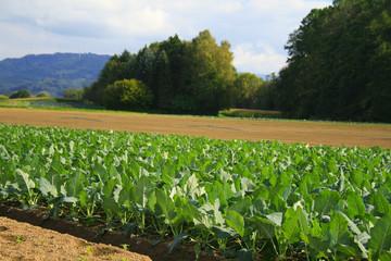 Field of cabbage kohlrabi.