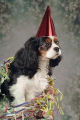 chien cavalier king charles tricolore fête