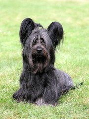 Typical black Skye Terrier on a green grass