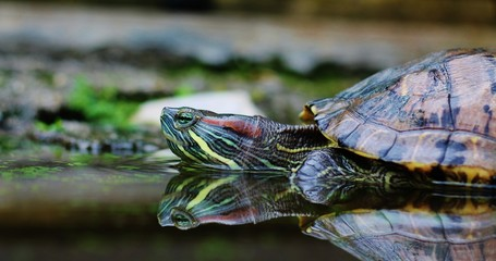 The Reflected Turtle