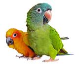 Fototapeta Conure Parrots