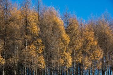 色付いたカラマツ林