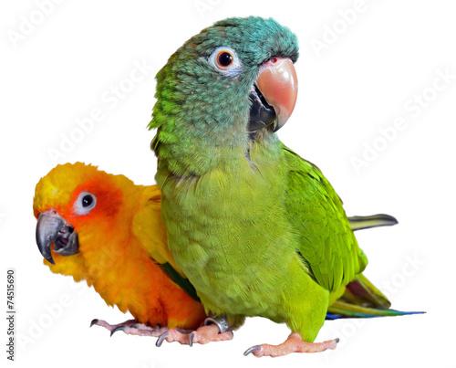 Fotobehang Vogel Conure Parrots