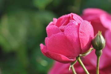 rosée sur rose