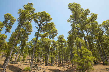 Pine tree forest in La Palma. Canary Islands. Spain