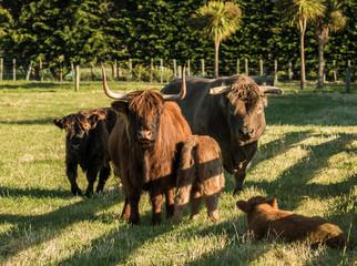 Highland Cattle Family