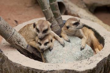 meerkat animal group