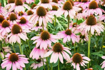 Beautiful Echinacea flowers in the garden