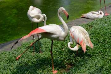 Group of a greater flamingo