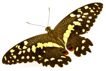 papillon ailes déployées
