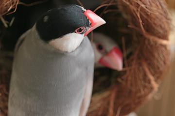 巣から覗く文鳥