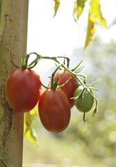pomodori orto naturale