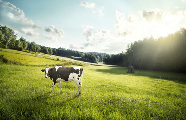 Cow pasture on a glade