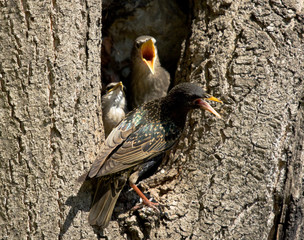Common starling with chicks at the nest