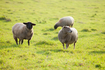 Farm animals: sheep grazing on a lovely green pasture