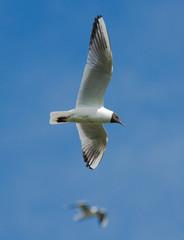Black-headed Gull on the blue sky