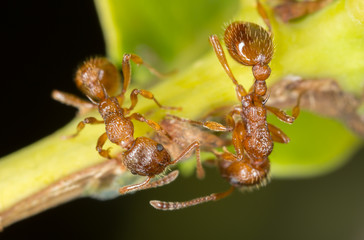 Red ants, Myrmica, extreme close-up with high magnification