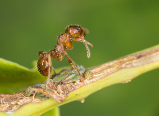 Find Similar Images Red ant, Myrmica on aphids polishing