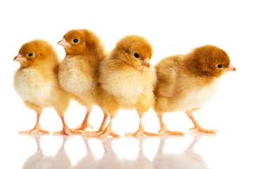 Photo of small cute chickens