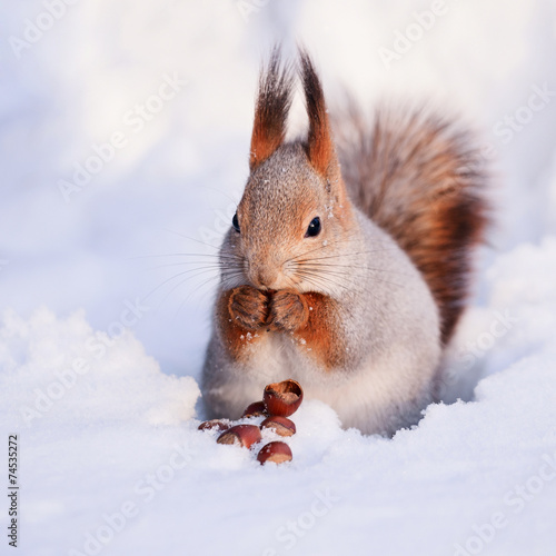 Deurstickers Eekhoorn Squirrel on the snow