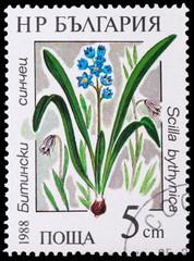 medicinal plant Scilla