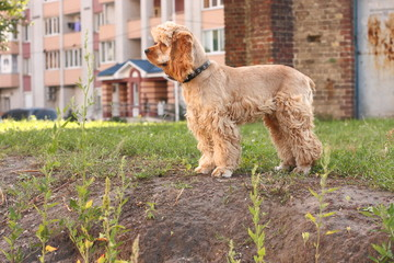 Young dog of breed American cocker spaniel
