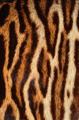 fur of bengal cat