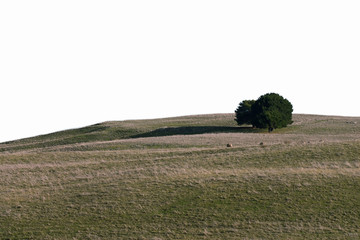 Tree in the field with isolate background