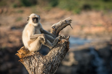 Blace faced monkey, grey langur