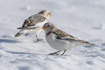 Zigolo delle nevi
