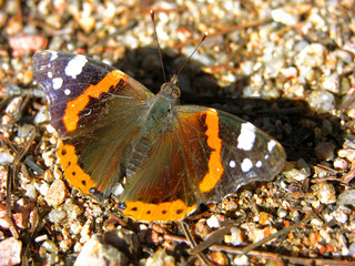 farfalla d'autunno