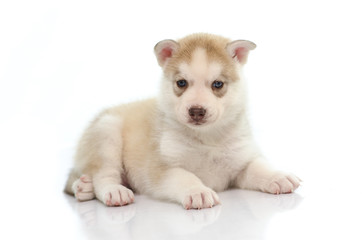 Cute siberian husky laying and looking
