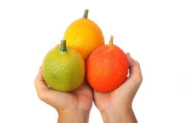 Hand holding Gac fruit, Baby Jackfruit,isolate