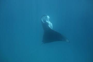 Riesenmanta beim Filtern (Malediven)