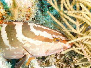 Nassau grouper (Epinephelus striatus) closeup