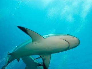 undersea cuba, Caribbean reef sharks (Carcharhinus perezi)