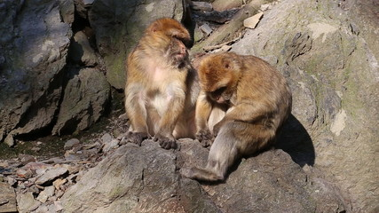 Barbary macaque looking for parasites in coat.