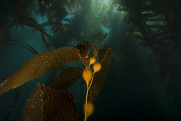 California Underwater Kelp Forest