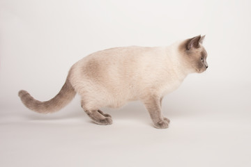 Beige cat on white background