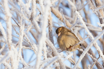 Sparrow sitting in frost bush