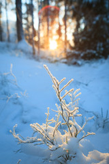 Frozen blueberry twig in last warm sunlight of the day