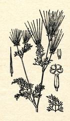 Shepherd's-needle (Scandix pecten-veneris)