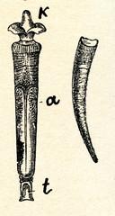 Elephant Tusk (Dentalium elephantinum)