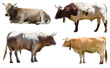 Set of bulls and cow. Isolated over white