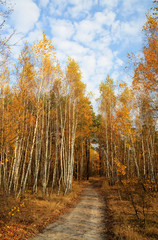 Autumn birch forest with yellow leaves, a path, cloudy blue sky